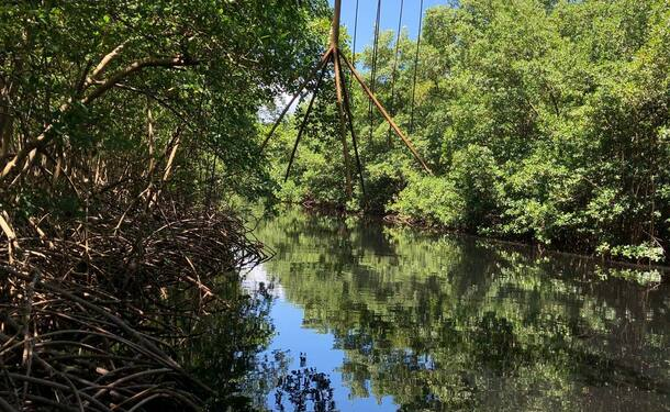 Immersion dans la mangrove de Génipa
