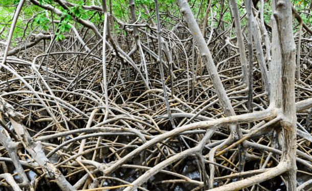 Découverte de la mangrove et du récif corallien